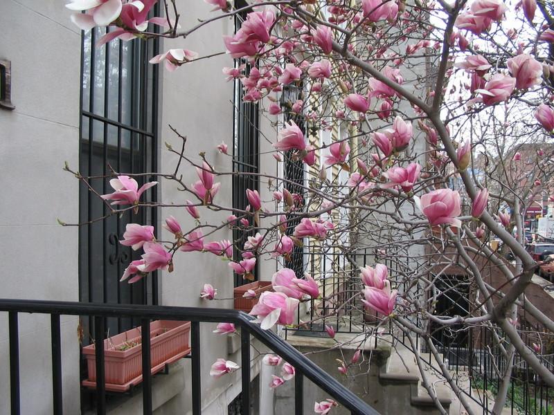 Magnolias_009_1